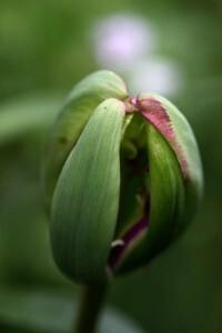 Tulipes Nightrider2