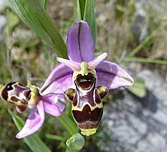 Ophrys-scolopax--Becasse.jpg