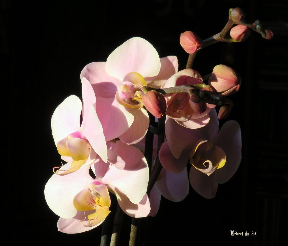 orchidée sur fond noir !