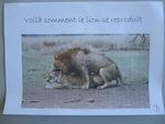 """Quatrième exposé """"Les lions"""""""