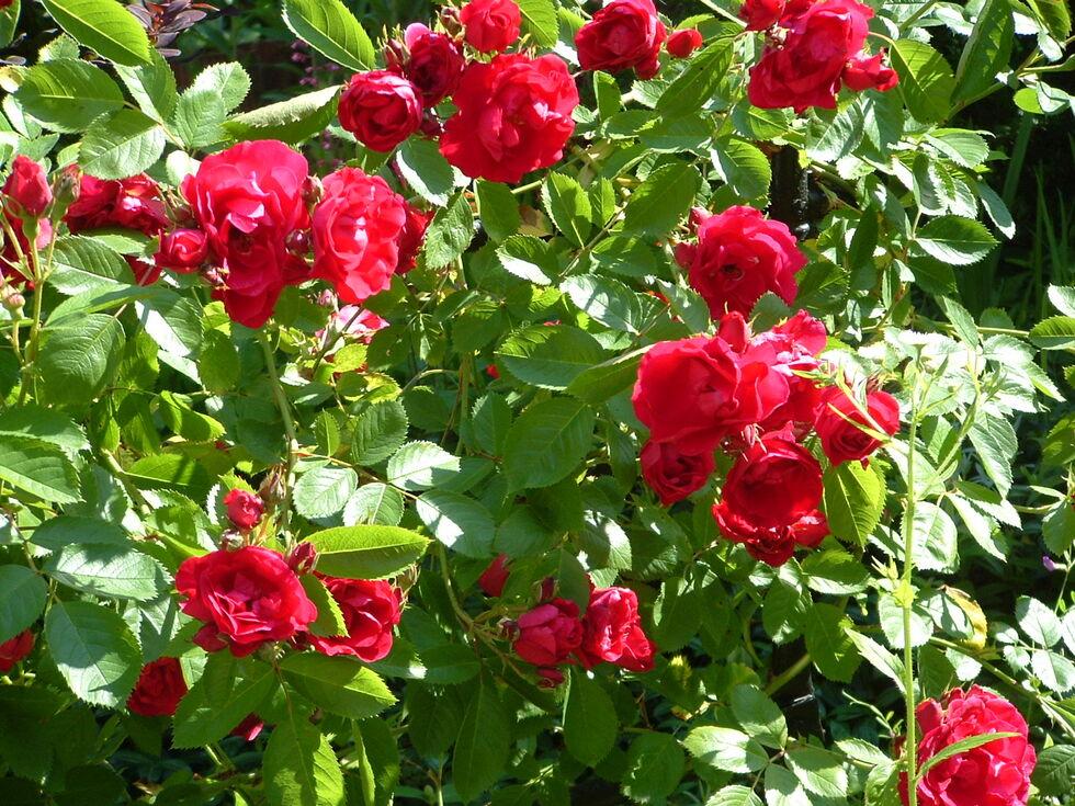 Quelques roses en fontaine