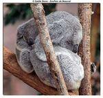 ANIMAL DE LA SEMAINE DU 17.08 AU 24.08 2014 : Le Koala.