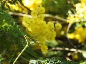 Balade mimosa...