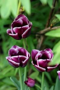 Tulipes-Arabian-Mystery14.jpg