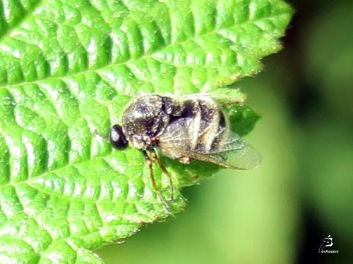 Acroceridae du genre Ogcodes