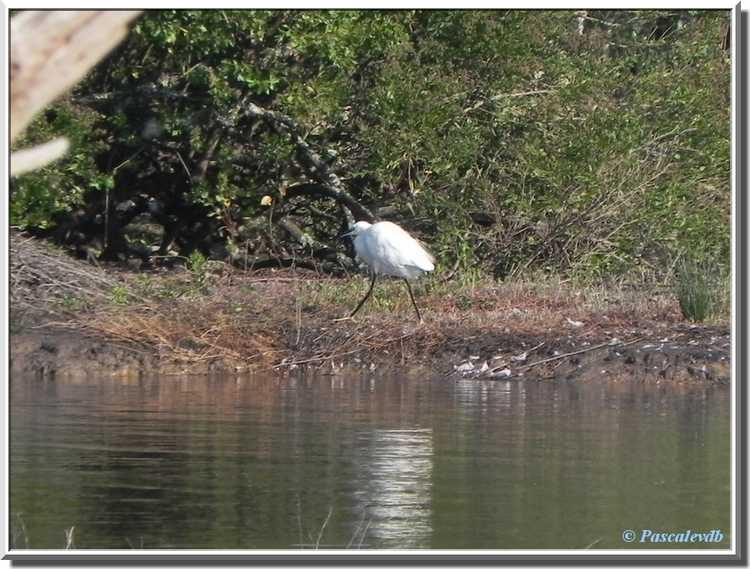 Parc ornithologique du Teich - Aigrette Garzette