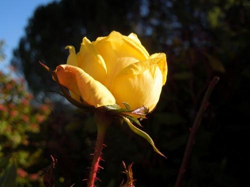 Une rose de janvier