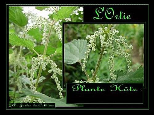 ortie-plante-hote.jpg