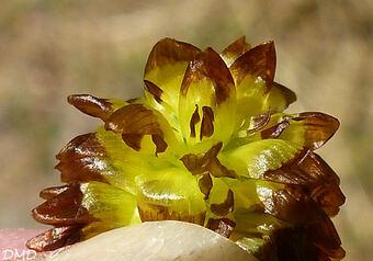 Trifolium spadiceum  -  trèfle brunâtre