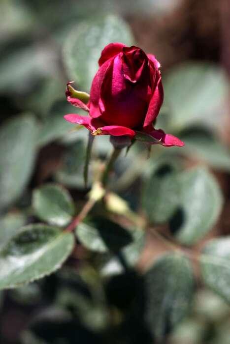 Les Roses de Warren : Xanda