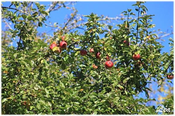 communaute-Tataray-5221-pommes.jpg