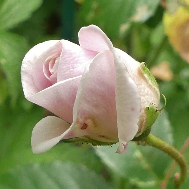 Je vous envoie sur quelques roses...