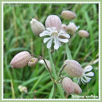 Silène enflée-Silene vulgaris Garcke