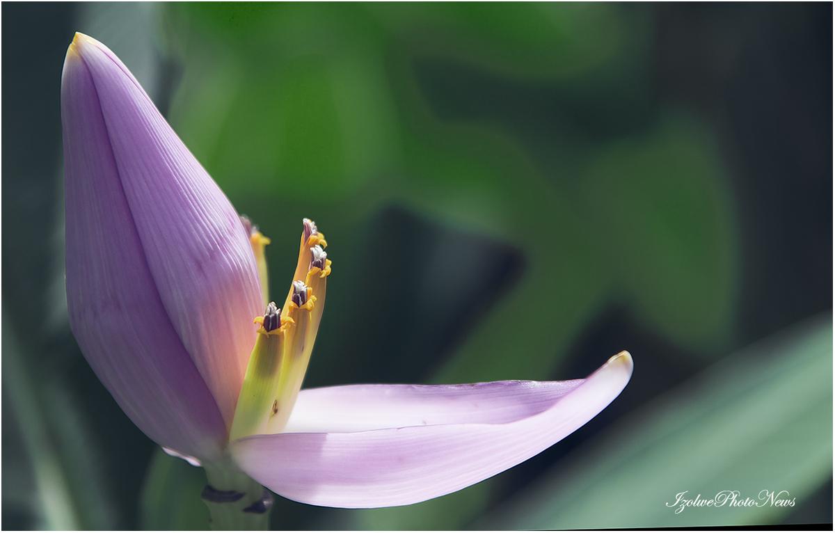 Fleur de bananier (espèce décorative)