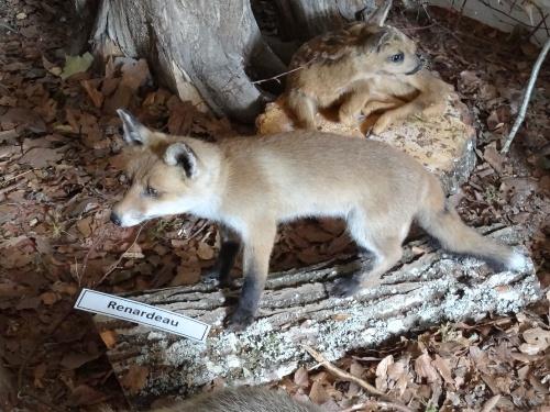 Une exposition d'animaux naturalisés à la Maison de la Forêt de Leuglay