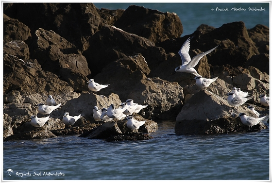 Sterne caugek - Thalasseus sandvicensis - Sandwich Tern