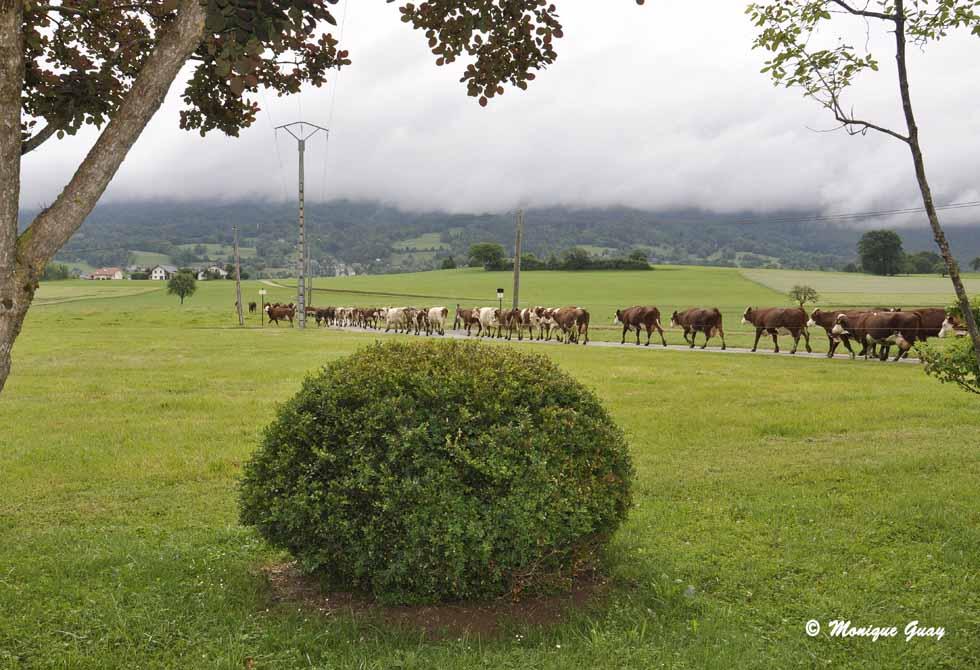 Vaches Montbéliardes et Abondance à Gruffy