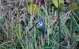 Mésange bleue - p 105