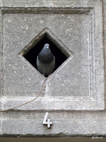 pigeon18 001