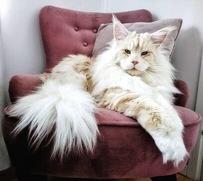 29 Photos Will Tell Why the Internet Went Crazy Over Maine Coons