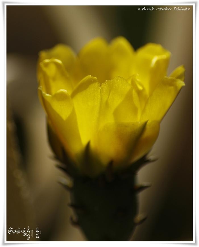 Fleur d'Opuntia (Cactus raquettes)