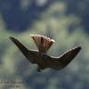 faucon 4.jpg
