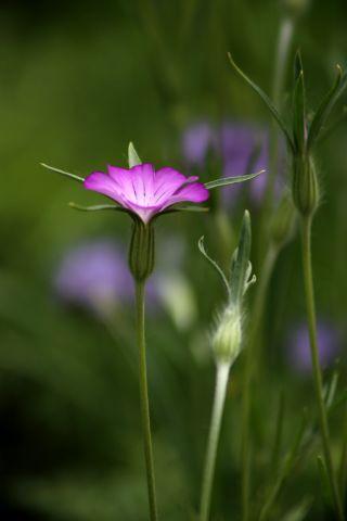 Des compagnes pour mes roses : Agrostemma githago