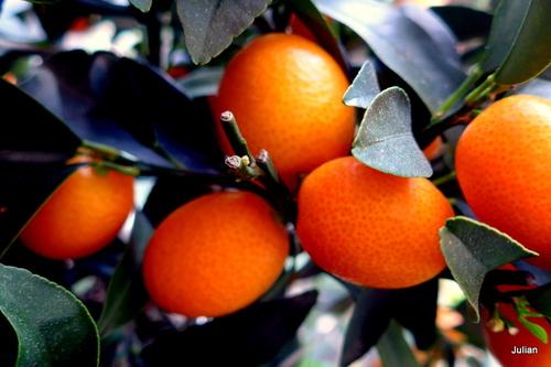 Les fruits : les kumquats (5)