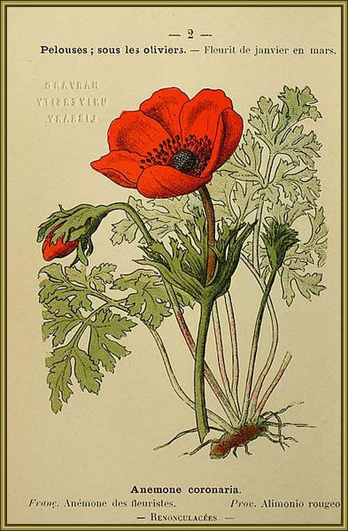 Fleurs cultivées : Anémone Couronnée
