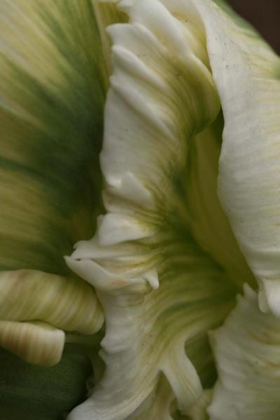 Tulipe-10