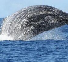 Photo: Les premières baleines arrivent à La Réunion : http://oran.ge/1kOUN9Z