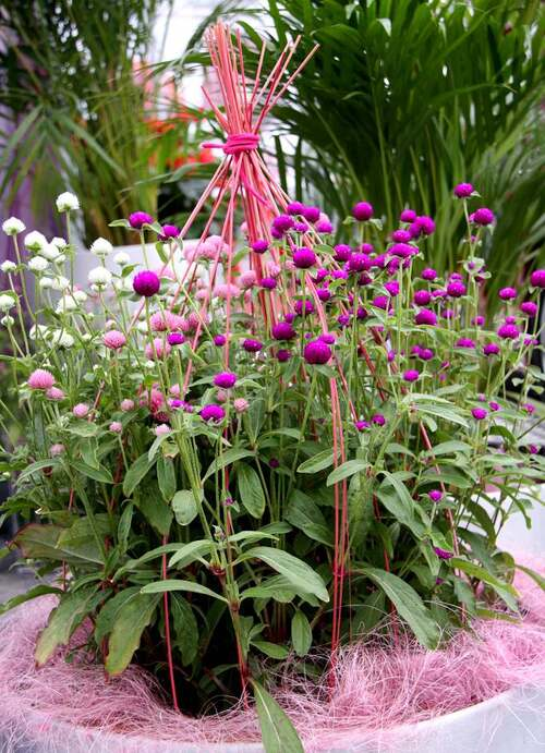 Fleurs cultivées : Gomphrena
