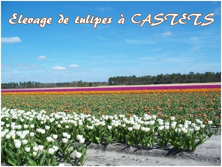 photo élevage tulipes