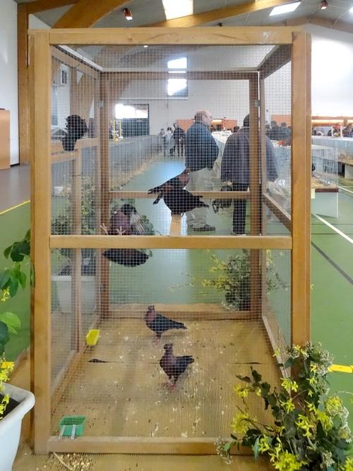 Le Salon Avicole 2016 de Châtillon sur Seine a fait découvrir de magnifiques pigeons...