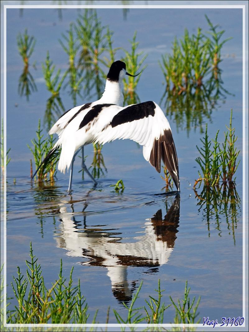 La chasse de l'Avocette élégante, Pied Avocet (Recurvirostra avosetta) - Ars-en-Ré - Île de Ré - 17