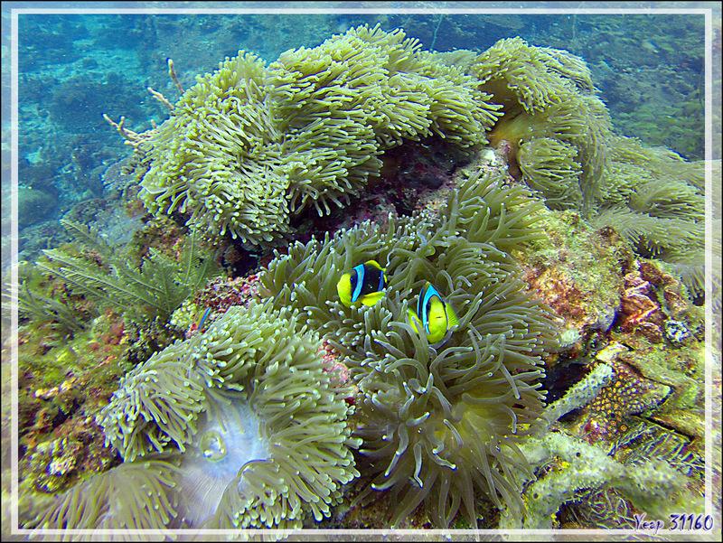 Poisson-clown de Clark, Yellowtail clownfish, Clark's anemonefish (Amphiprion clarkii) - Nosy Tsarabanjina - Archipel des Mitsio - Madagascar
