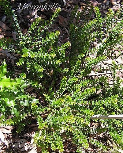 Myrthe - Myrtus Communis - F. Microphylla (fam Myrtacees) (