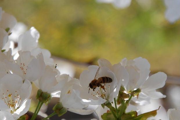 cerisier13b