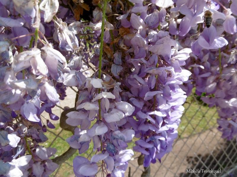 Une balade fleurie dans mon village, le 15 avril....