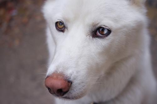 beau loup blanc