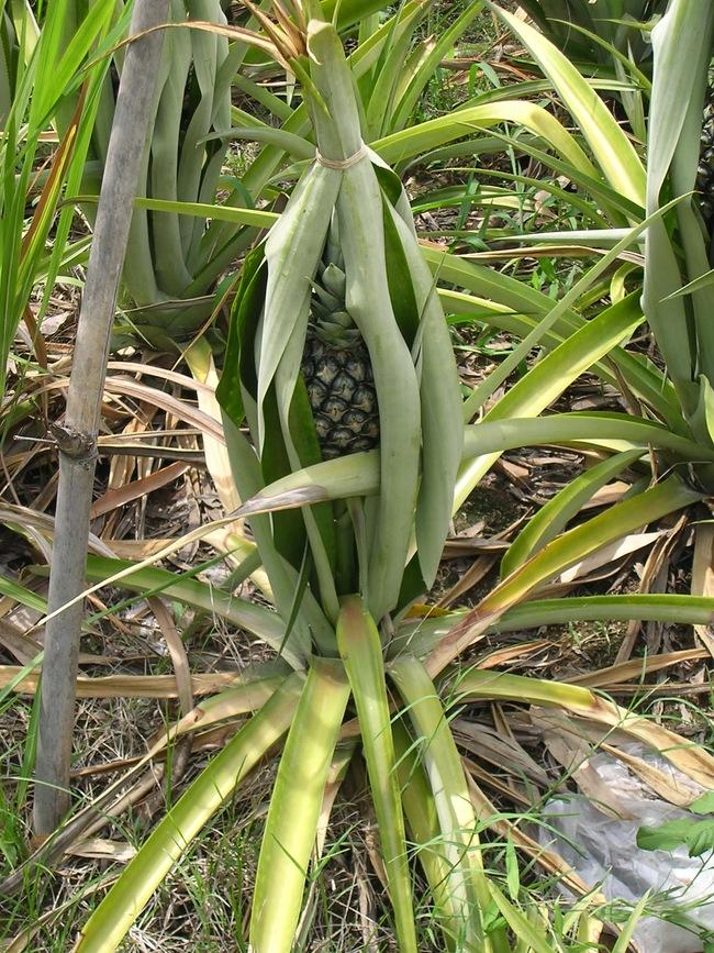 Thailande - Culture des ananas