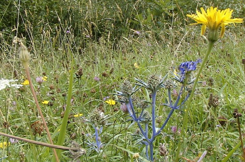 Chardon bleu des Pyrénées ou Panicaut de Bourgat