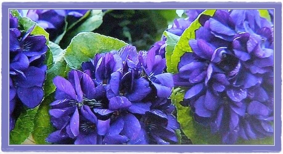 légende de la violette ..