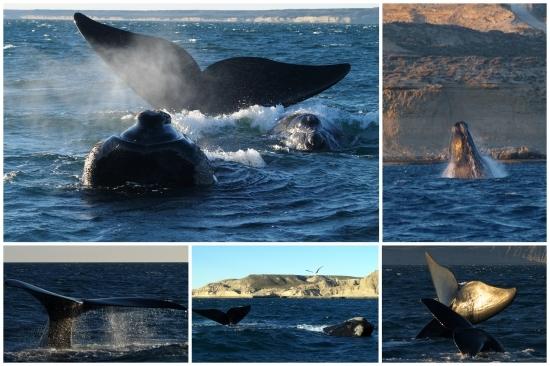 valdes baleines