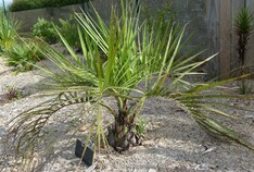 butia catarinensis n°1 (anciennement odorata)