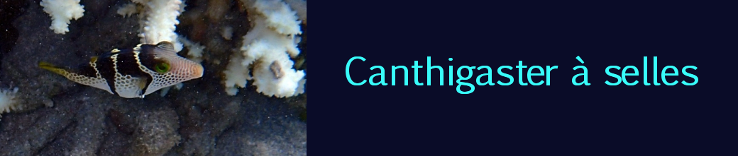 canthigaster à selles