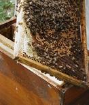Découvrez l'abeille en famille à l'Écomusée le 20 juillet