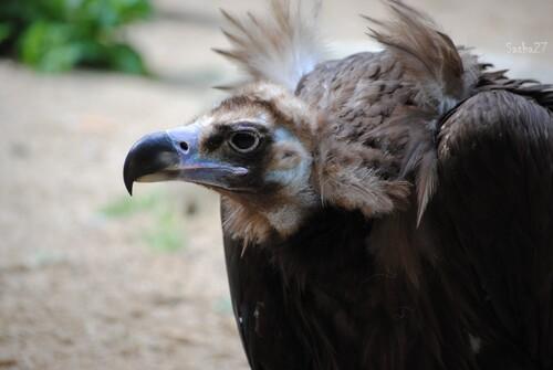 Le vautour moine.