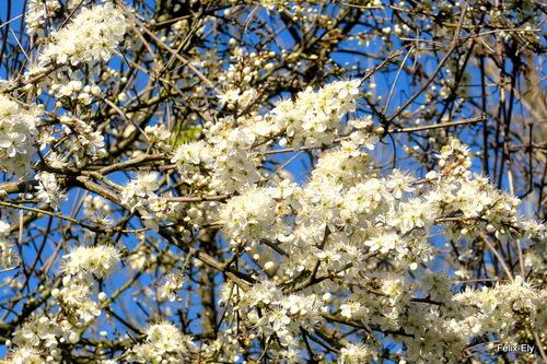 Fleurs blanches du printemps !