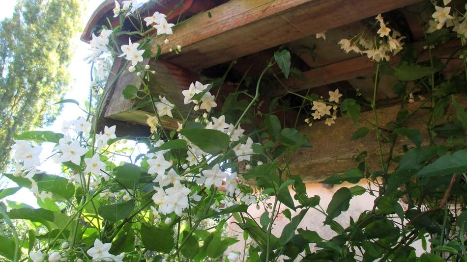 Solanum jasminoïde